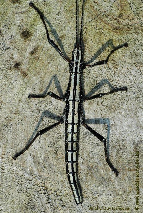 PSG 12 - Anisomorpha buprestoides 'ocala' - Volwassen vrouw