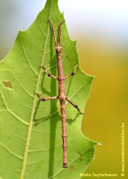 PSG 327 - Achrioptera fallax - Nimf