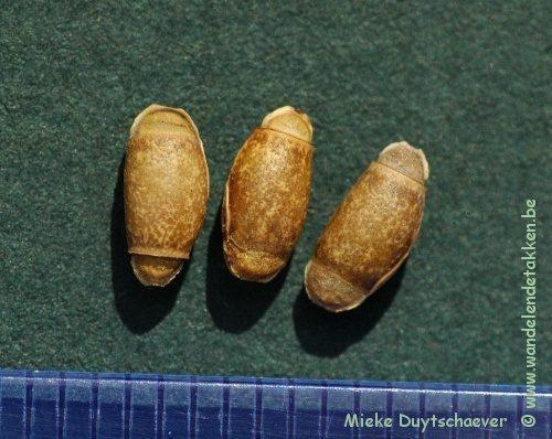 PSG 327 - Achrioptera fallax - Eitjes