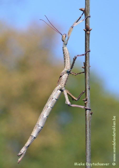 PSG 327 - Achrioptera fallax - Volwassen vrouw