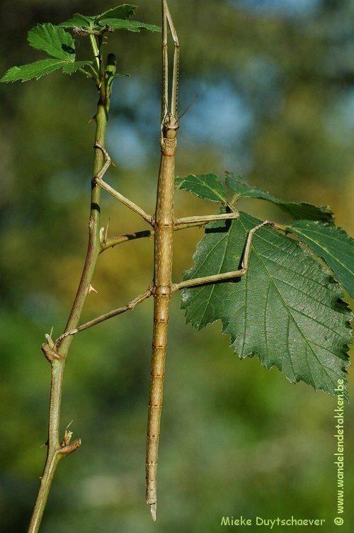 Baculonistria alba - Subvolwassen Vrouw