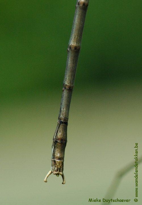 Calynda coronata - Volwassen man