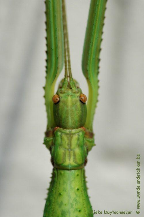 PSG 167 - Hermarchus  pythonius var. - Subvolwassen vrouw