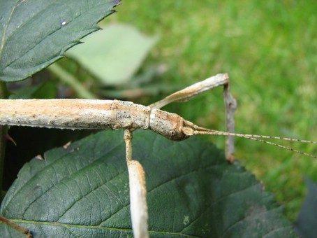 PSG 181 - Hermagoras cultratolobatus - Volwassen vrouw