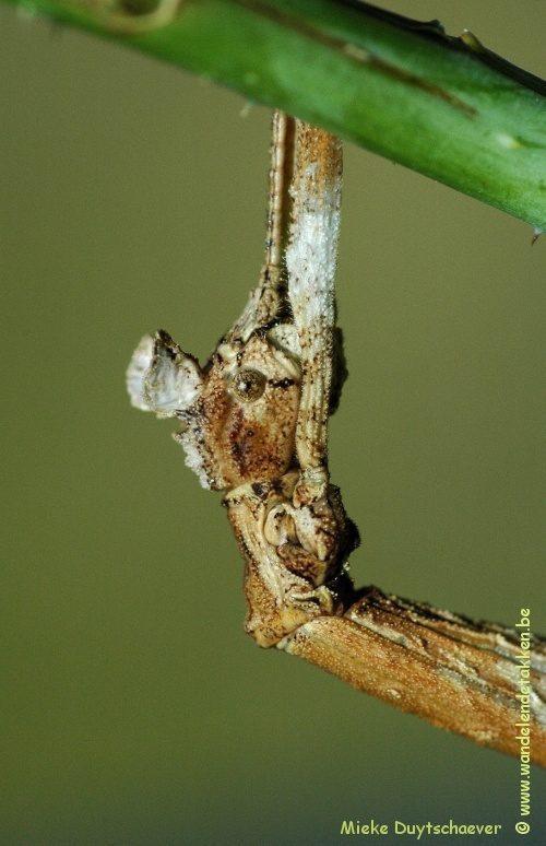 PSG 312 - Phenacephorus latifemur - Volwassen vrouw