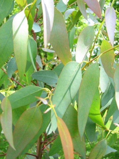 Eucalyptus gunnii - oudere bladeren